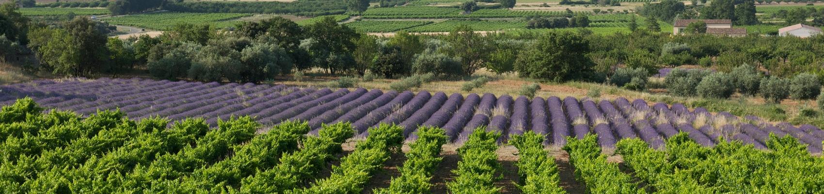 Die Weinberge des Rhônetals
